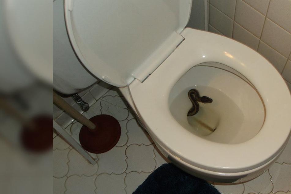 Die Schlänge züngelte James Hooper aus der Toilettenschüssel entgegen. Sie war ihrem ursprünglichen Besitzer ausgebüxt.