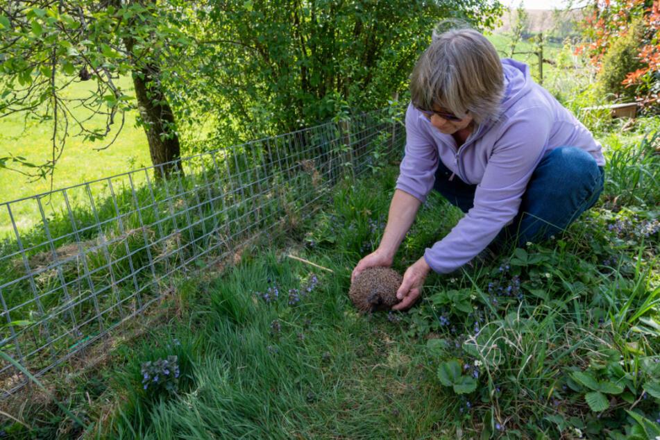 Monika Lüdtke setzt einen Igel nach seinem Winterschlaf in ihren Garten.