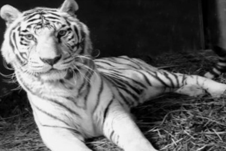 """Weiße Tigerdame """"Kiara"""" aus Aschersleber Zoo ist tot"""