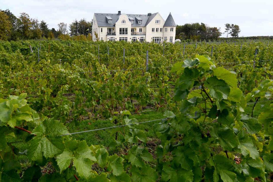 Weinstöcke auf dem Weingut Waalem auf der Insel Föhr.
