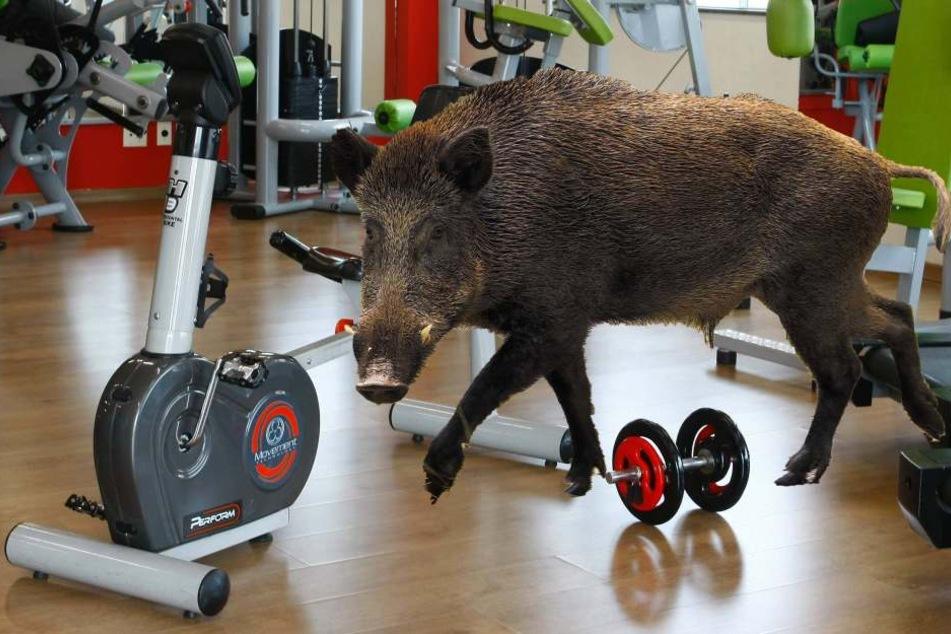Ein verirrtes Wildschwein löste in Walldorf einen Polizeieinsatz aus (Symbolbild).