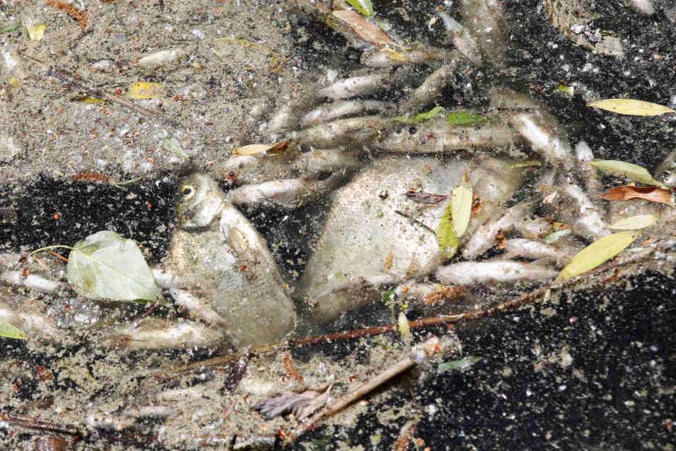 Tote Fische treiben in einem Hamburger Rückhaltebecken an der Wasseroberfläche.