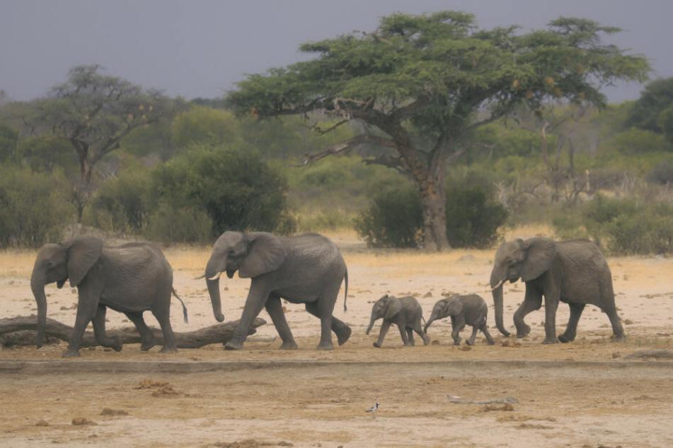 Eine Elefantenherde ist im Hwange-Nationalpark auf der Suche nach Wasser.