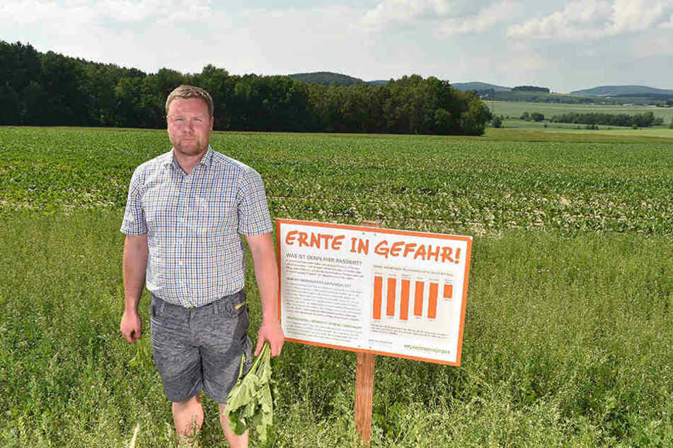 Landwirt Johann Steglich (34) in seinem Zuckerrübenfeld nahe Bischofswerda: Im Hintergrund die mit Herbiziden behandelte Fläche, wo Rübe an Rübe wächst. Vorne die zugewucherte unbehandelte Schaufenster-Fläche.