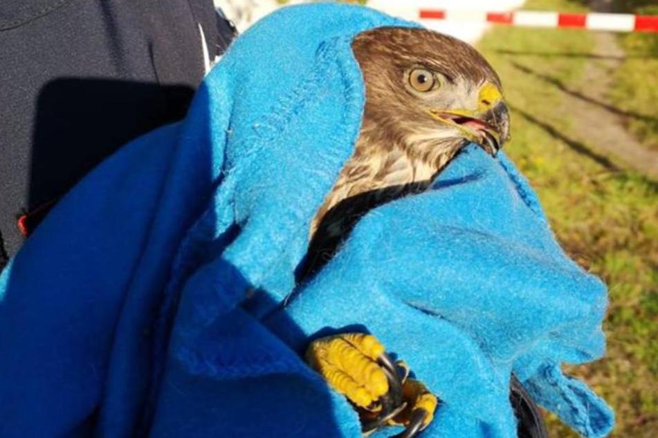 Ein Falkner brachte den Greifvogel in Sicherheit.