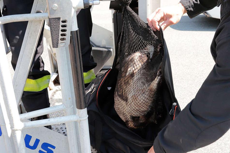 In einem Netz holte die Feuerwehr den Waschbär wieder auf die Erde.