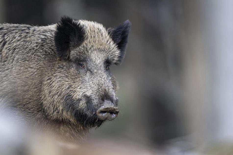Das Schweinepest-Risiko soll auch durch den Abschuss von Wildschweinbeständen reduziert werden.