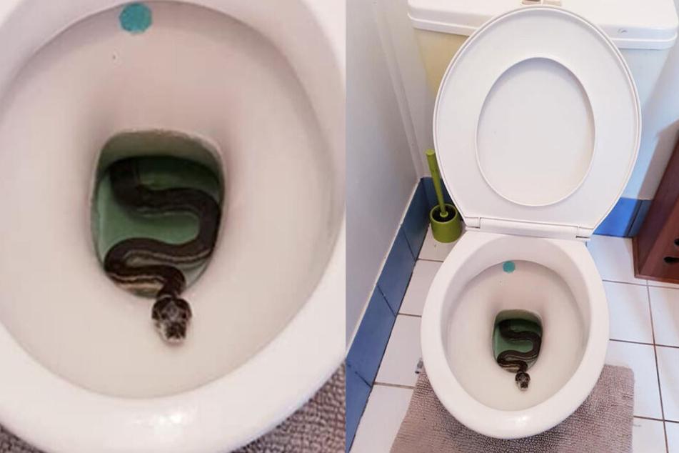 Kein schöner Anblick: Python im Klo!