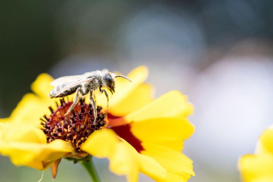 Eine Wildbiene sitzt auf einer Blume, ihr und anderen Insekten setzen viele Faktoren zu.