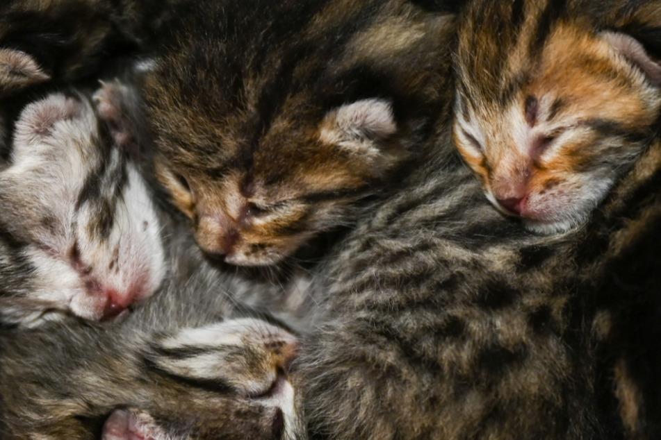 Missstände auf Hof: 32 Katzen beschlagnahmt!