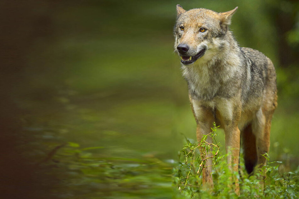 Wölfe sind in sächsischen Wäldern inzwischen wieder heimisch.