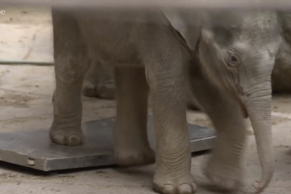 Leipziger Elefantenbaby verliert an Gewicht