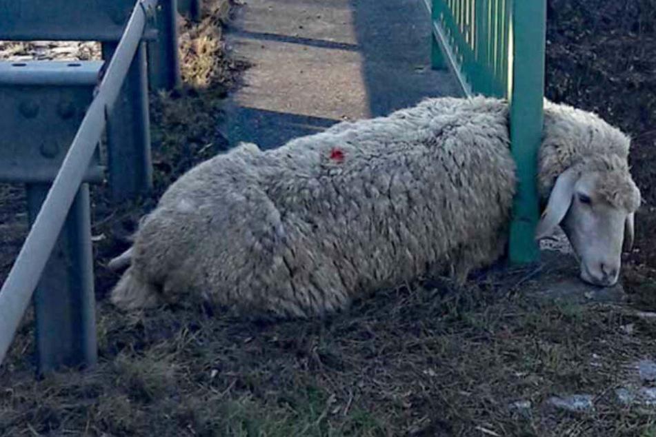 Drama an Bundesstraße: Hier steckt ein Schaf im Geländer fest!
