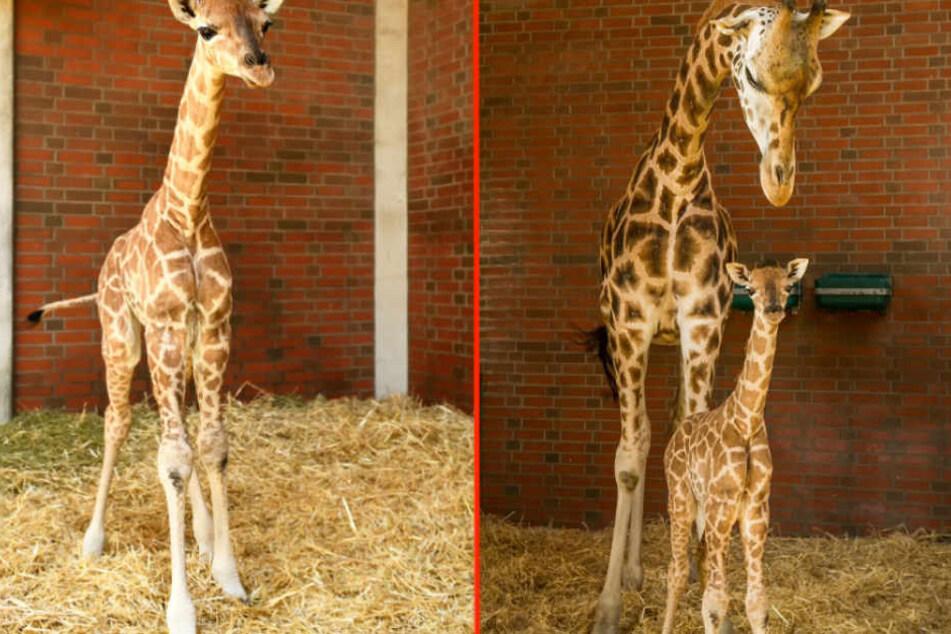 Neugierig schaut sich die Mini-Giraffe im Stall um, wo Mama Amalka (5) auf sie aufpasst.