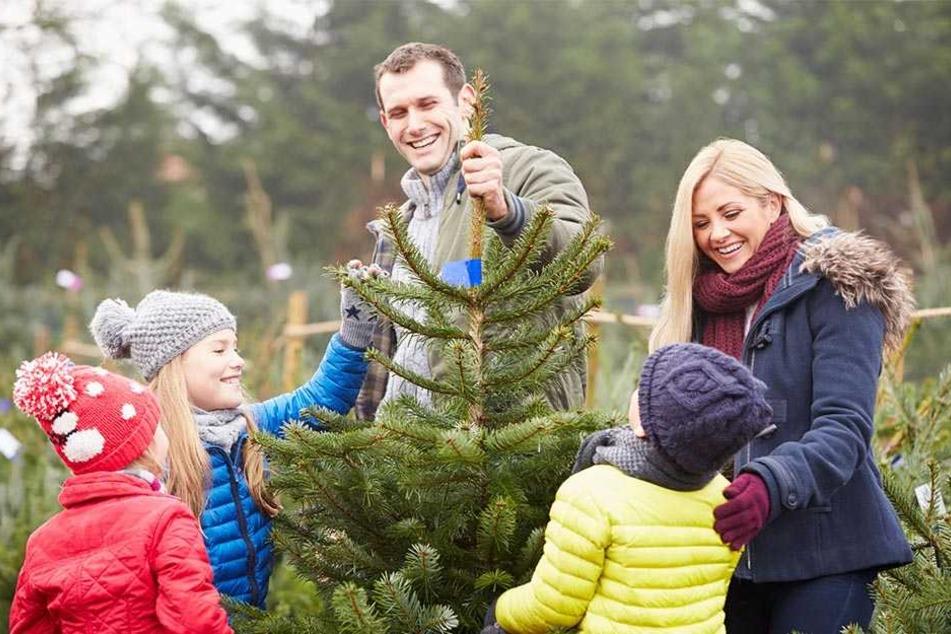 Auch in Chemnitz können Weihnachtsbäume am Samstag selber geschlagen werden.