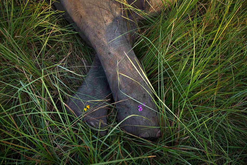 Blüten liegen am 19.11.2017 auf den Beinen eines toten Elefanten.