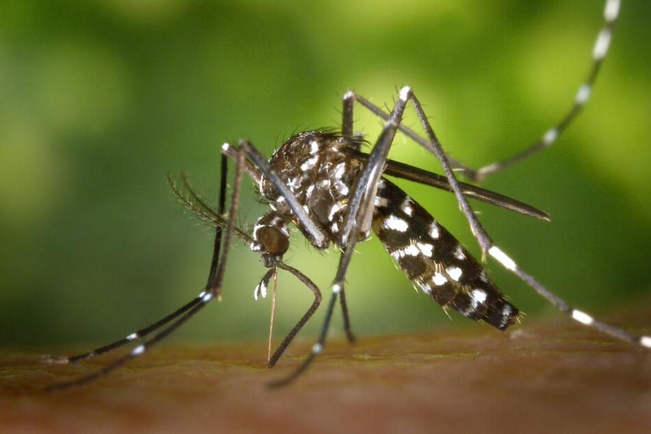 Sieht schon fies aus: die Asiatische Tigermücke.