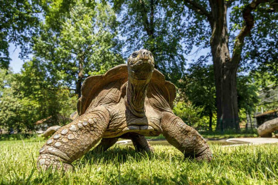 Erster! Hugo II hat das Schildkröten-Rennen in den Frühling gemacht.