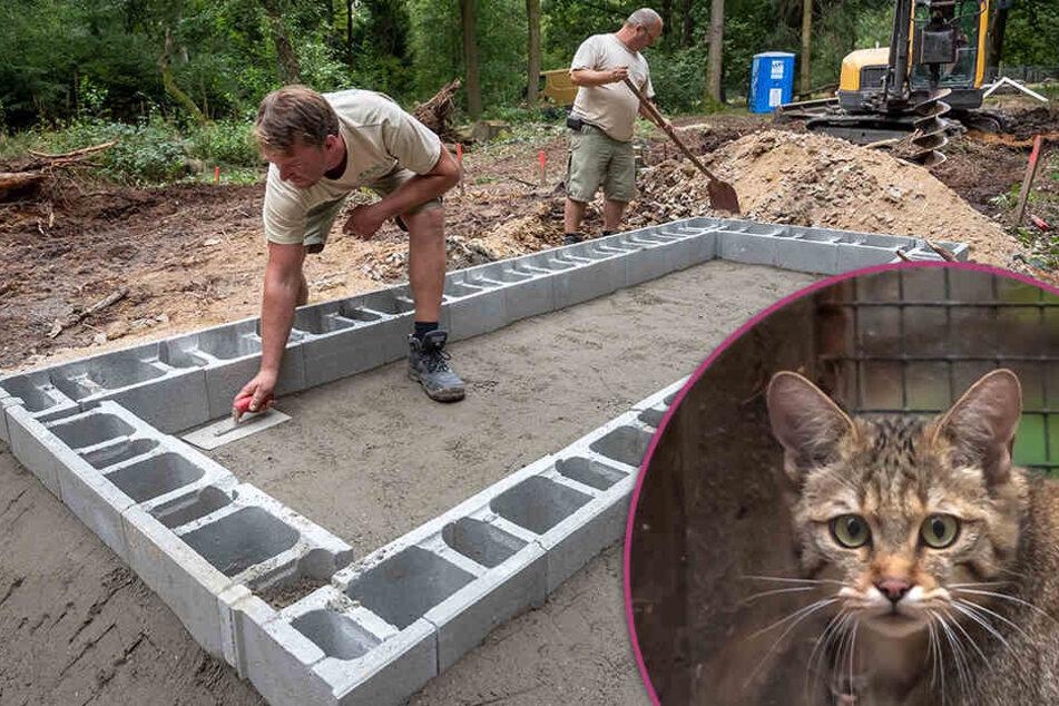 Verliebte Wildkatzen bekommen ein neues Zuhause