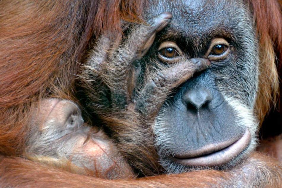 Im Dresdner Zoo herrschen laut der Organisation die schlechtesten Orang-Utang-Bedingungen in ganz Europa.