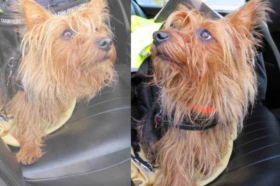 Der kleine Terrier konnte von den Polizisten on der Autobahn gerettet werden.