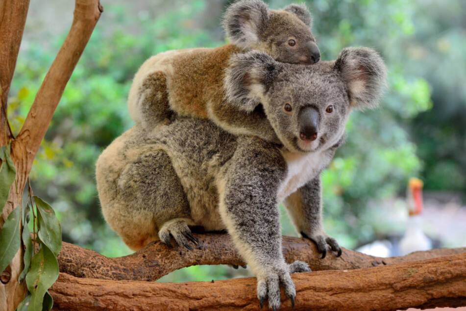 A koala mother and her child in their habitat.