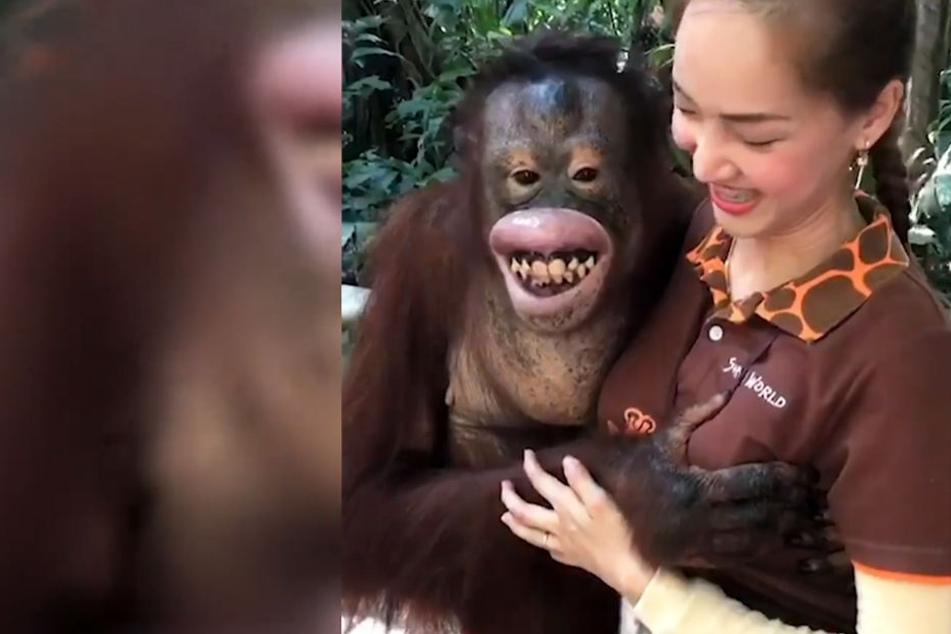 Berührungsängste kennt dieser Orang-Utan nicht.