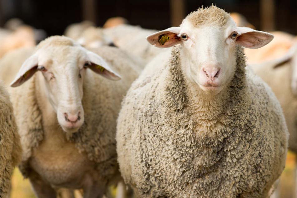 Schafherde bricht aus und verursacht Unfall: Sieben Tiere sterben