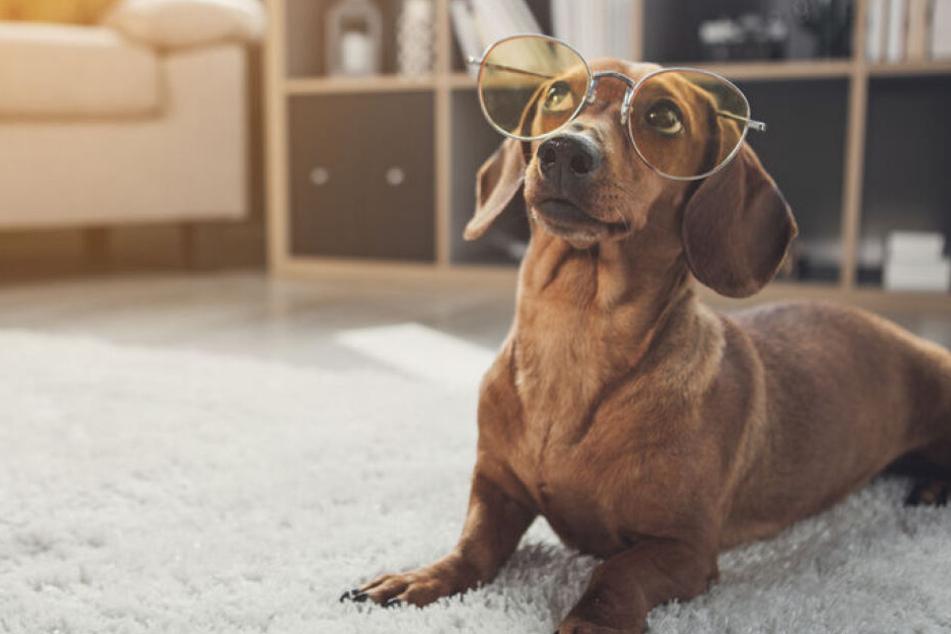 Herrchen bewusst täuschen: Können Hunde lügen?