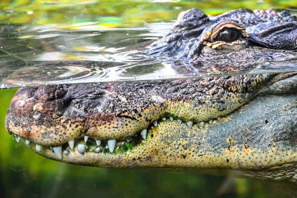 Eine Krokodilechse verspeiste das beste Stück eines 27 Jahre alten Mannes.