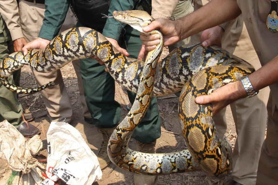 Eine meterlange Python hat jetzt eine komplette Frau verschluckt. (Symbolbild)