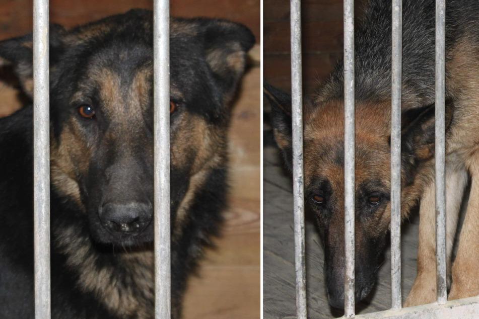 Die beiden Schäferhunde wurden zur Beobachtung in ein Tierheim gebracht.