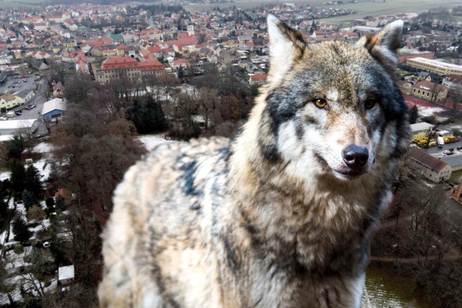 Leipzig: Wolf jagt mitten in der Stadt - und reißt am Bahnhof ein Reh!