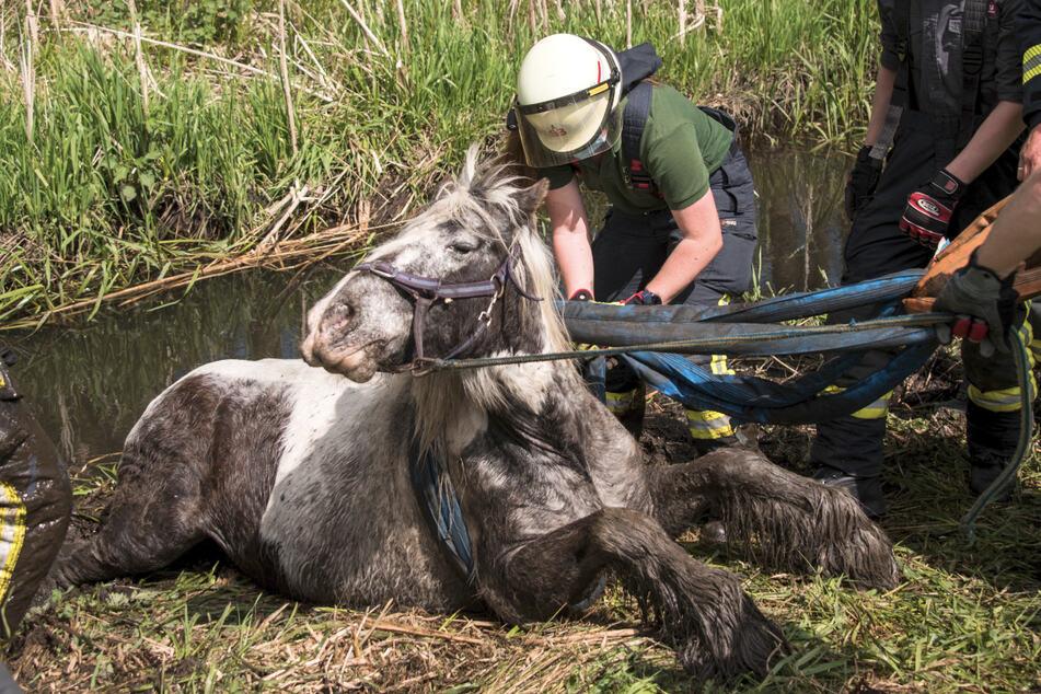 Feuerwehrleute ziehen die Stute Silver aus einem Bachlauf. Das Tier war am Mittag in den Bach neben einer Weide gerutscht und stecken geblieben.