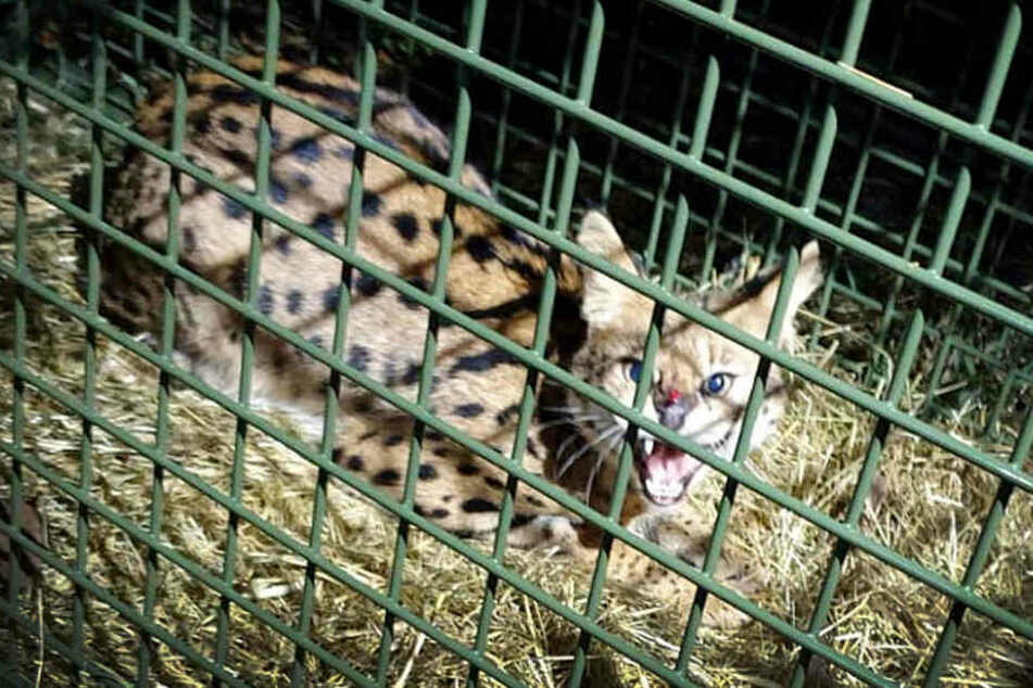 Das Foto zeigt die Serval-Katze in einer Lebendfalle. Der Serval, der seit Mitte Dezember 2019 rund um Eitorf unterwegs war, ist gefunden worden.