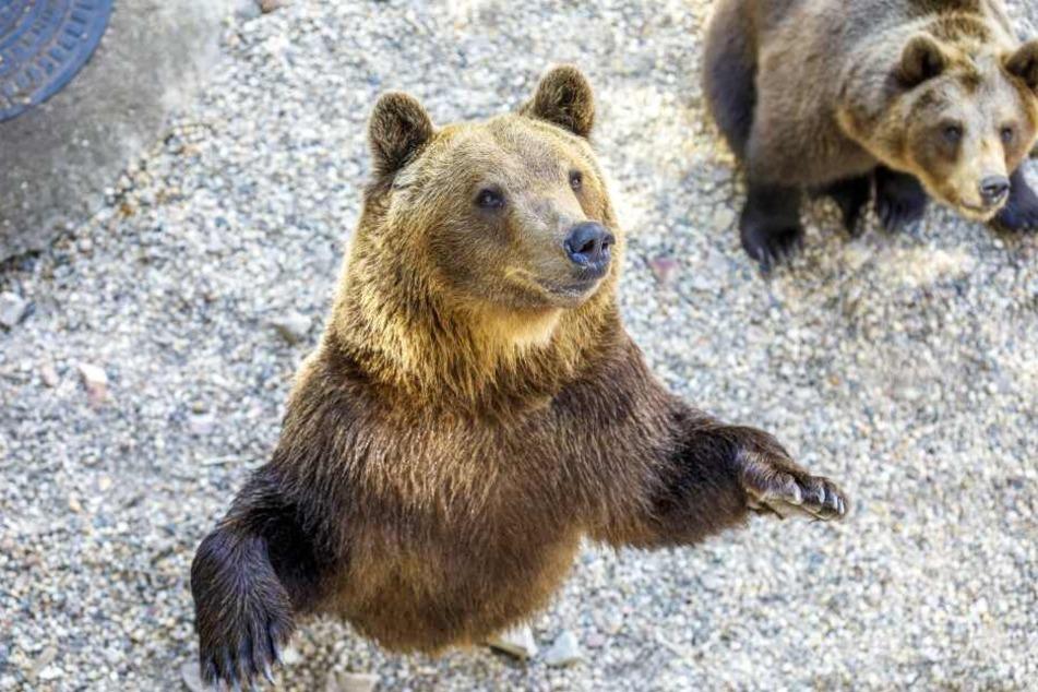 Gute Nacht! Torgauer Bären gehen in den Winterschlaf