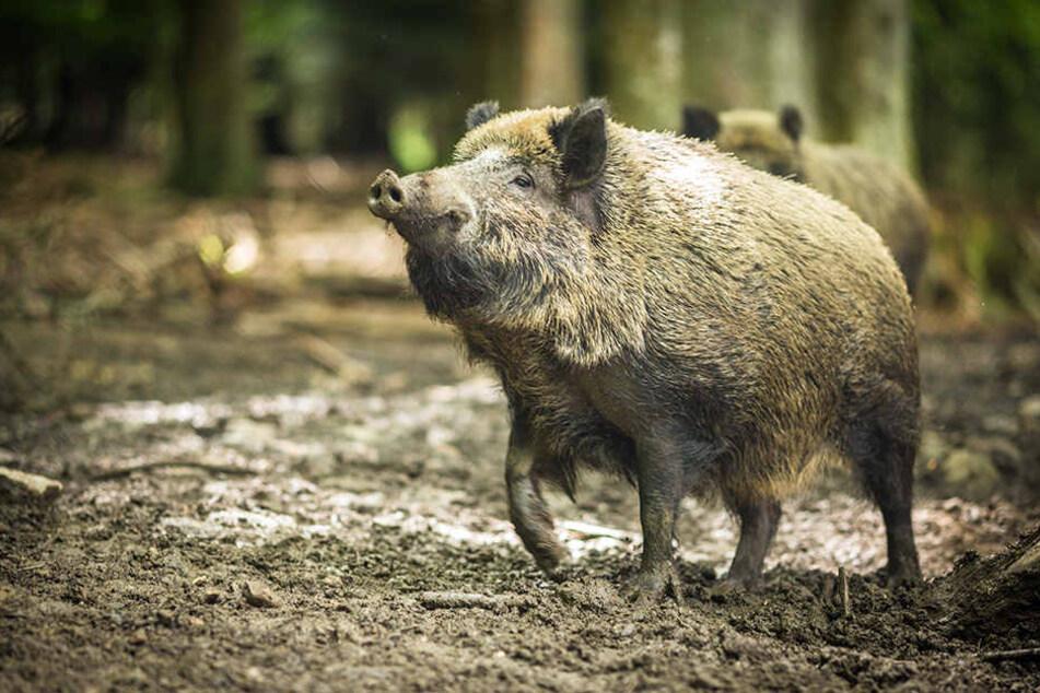 Ein Wildschwein hatte keine Lust darauf, dass Menschen in sein Revier kommen. (Symbolbild)