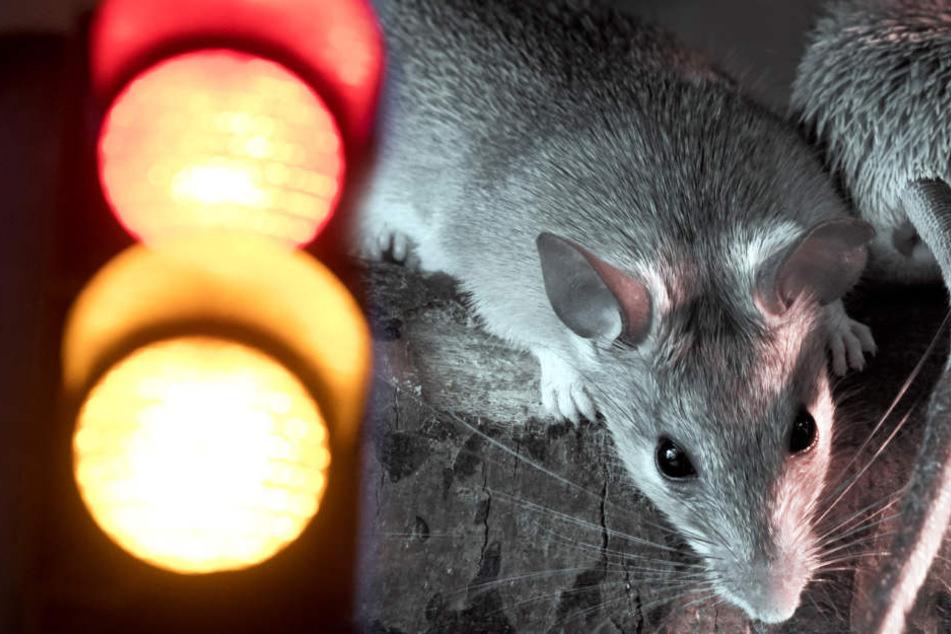 Ampel-Chaos in Innenstadt, weil Ratten Technik zerfressen haben