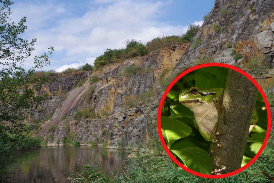 Unter anderem der Laubfrosch ist in dem alten Steinbruch beheimatet.