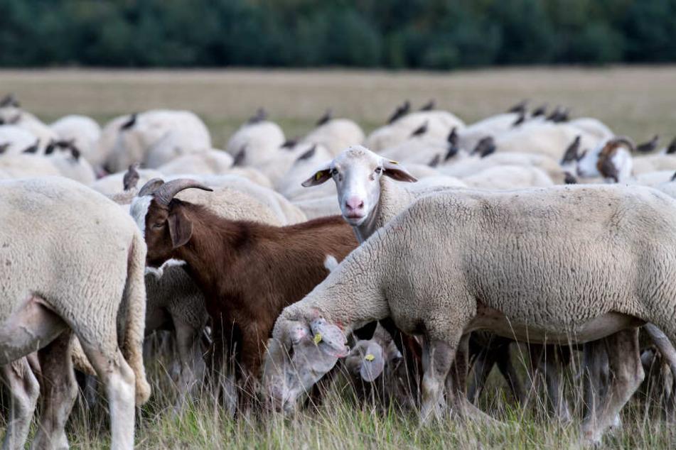 Das Schaf befand sich mit Artgenossen auf einer Weide, als es von Unbekannten getötet wurde. (Symbolbild)
