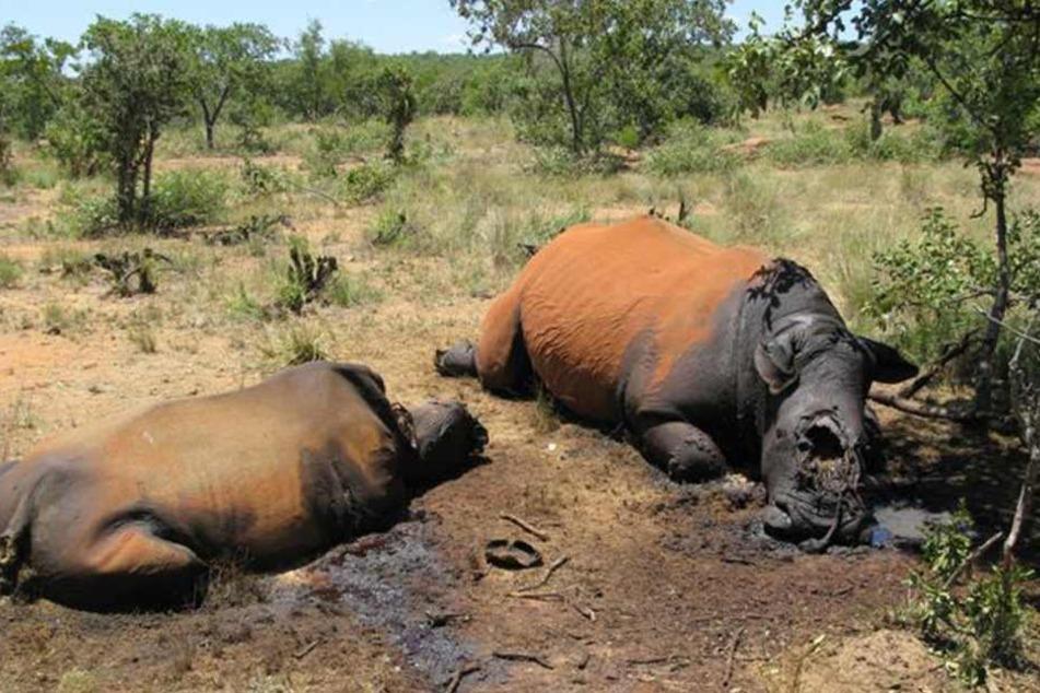 Ein Nashorn ist in einem französischen Zoo mit drei Kugeln erschossen worden. Die Unbekannten entfernten das Horn des Tieres (Archivbild).