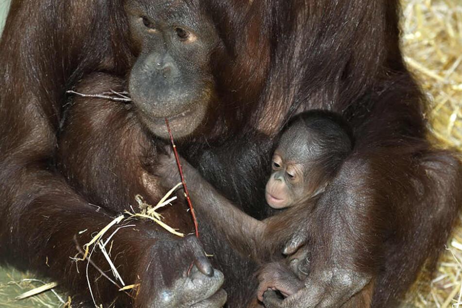So süß! Orang-Utan Nachwuchs verzückt Kölner Zoo