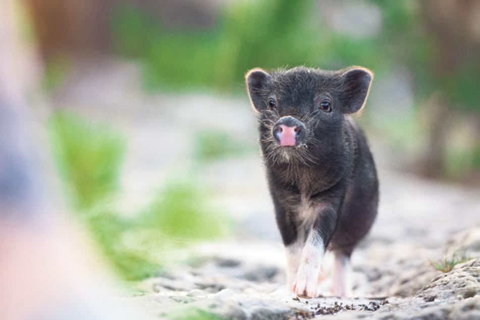 Ja, wer grunzt denn da? Das 12 Wochen alte Minischwein Pumba ist zum Anbeißen  niedlich.