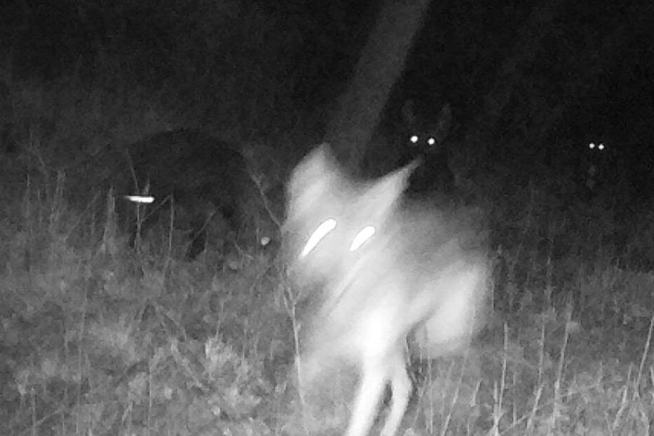 Die Wölfin wurde im vergangenen Jahr mit ihrem ersten Wurf von einer Fotofalle fotografiert.