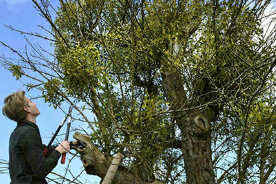 Über 50 Jahre alt ist dieser Apfelbaum auf einer Streuobstwiese in Hainichen.  Um ihn zu retten, hilft nur der radikale Rückschnitt der überhandnehmenden  Misteln.