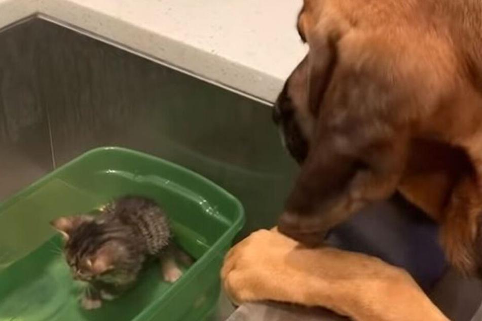 Was hat diese große Hündin mit dem kleinen Kätzchen vor?