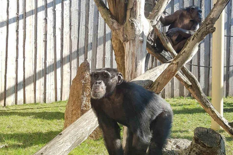 Die Magdeburger Zoo-Schimpansen Sambala und Sokoto sind aus ihrem Gehege ausgebrochen.