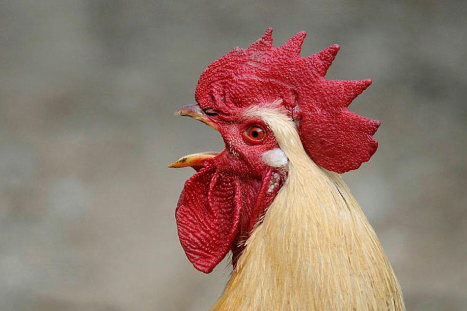 Beim Hahn gehört das morgendliche Geschrei zum guten Ton.
