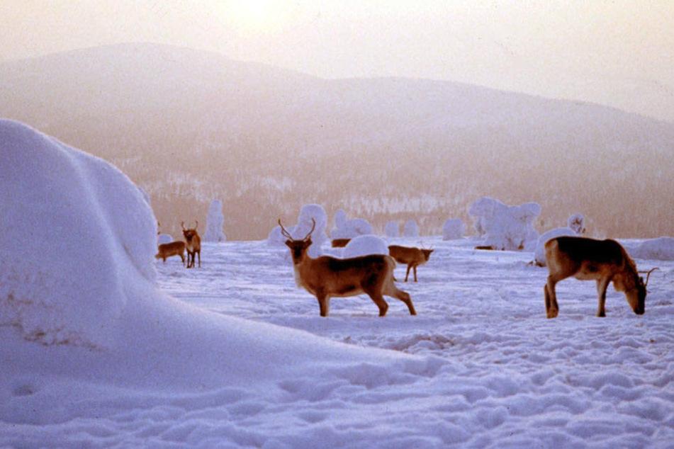 2200 wildlebende Rentiere will die norwegische Regierung erschießen lassen.