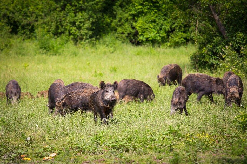 Auch in den Vorjahren wurden Wildschweine in NRW bereits intensiv bejagt.